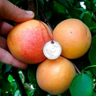 """Саженец абрикоса """"NJA 19"""""""