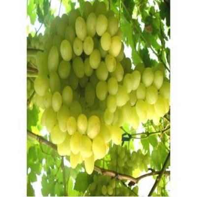 "Саженец винограда ""Благовест"""