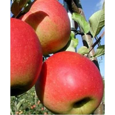 """Саженец яблони  """"Сансе"""""""