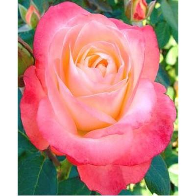 "Саженец розы ""Белла Перла"""