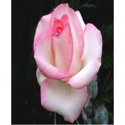 "Саженец розы ""Белла Вита"""