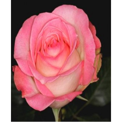 """Саженец розы """"Россини"""""""
